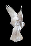 Dove In Flight Stock Photography
