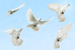 Dove in flight. Composite image of a white dove as she flies royalty free stock photo
