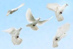 Dove in flight Royalty Free Stock Photo