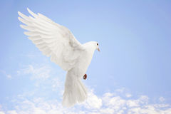 Dove in flight. Beautiful white dove in flight, blue sky background royalty free stock images