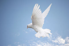 Dove in flight. Beautiful white dove in flight, blue sky background royalty free stock photo