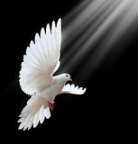 Dove in flight. Against black background Royalty Free Stock Photography