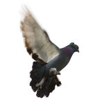 Dove in flight Stock Image