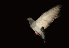 Dove in flight against black background. Dove in flight against a black background Royalty Free Stock Images