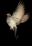 Dove in flight against black background. Dove in flight against a black background Royalty Free Stock Image