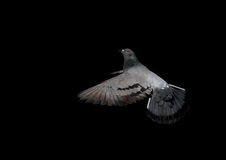 Dove in flight against black background. Dove in flight against a black background Royalty Free Stock Photos