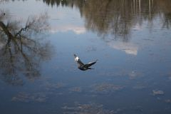 A dove in flight against the fully reflected in the lake water sky royalty free stock photography