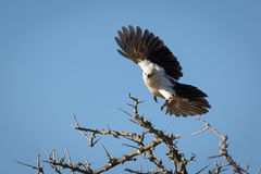 A Dove in Flight in Africa  Stock Image
