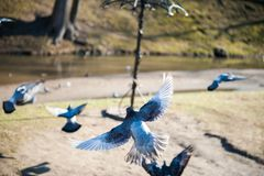 Dove in flight. flying pigeons on a sunny day stock photo