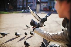 Dove in flight gets into the hands of a girl Royalty Free Stock Photography