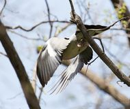 Dove in flight in nature royalty free stock photography