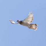 Dove in flight in the sky Royalty Free Stock Images
