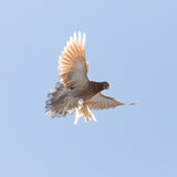 Dove in flight in the sky Stock Images