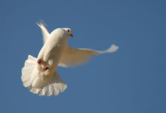 Dove In Flight. Dove about to land against a clear blue sky royalty free stock images