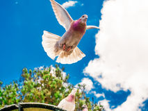 Dove in flight under a blue sky Royalty Free Stock Images