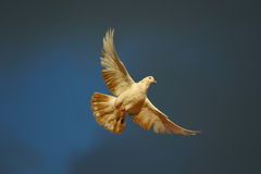 Dove flying against blue sky. As a symbol of peace stock photos