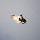 Dove flying against a blue sky with clouds Stock Photography