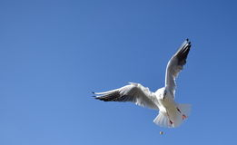 Dove flying around and catching food on air. Royalty Free Stock Photography