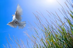 Dove flying over field. A white dove flying over a grassy field Royalty Free Stock Photos