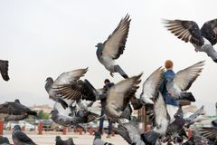 Dove flying pigeon group, timid Group down the street. Dove flying pigeon group, timid Group down the street royalty free stock images