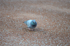 Dove in focus. Surrounded by many small stones Royalty Free Stock Image