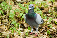 Dove in forest Royalty Free Stock Image