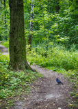 The dove in the forest. On the path near the tree Stock Photo