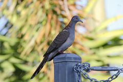 Dove. A dove on a gate post Royalty Free Stock Photography
