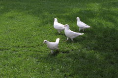 Dove Stock Photo