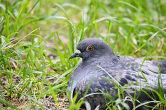 Dove in the grass. Pigeon is sitting and hiding in the grass Stock Images
