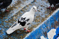 Dove gray on the lake. Turkey Royalty Free Stock Images
