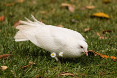 Dove on green lawn Stock Photography