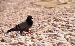 Dove. Grey Dove On Peeble Beach royalty free stock photos
