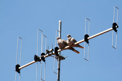 Dove-greys. Two dove-greys on a antenna Stock Image
