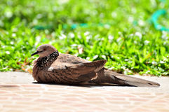 A dove on grown floor with sunlight Royalty Free Stock Photo