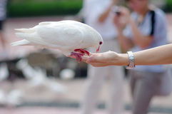 Dove on hand. Dove eating food on a hand Stock Photography