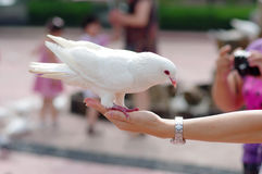 Dove on hand. Dove eating food on a hand Stock Images