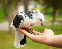 Dove in hand Royalty Free Stock Photo
