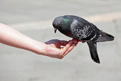 Dove on hand, St. Mark's Square, Venice, Italy Royalty Free Stock Image
