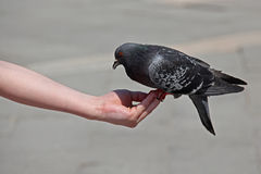 Dove on hand, St. Mark's Square, Venice, Italy Royalty Free Stock Images