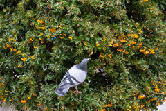 Dove in Hedge or Shrub with a Berry in its Beak Royalty Free Stock Image