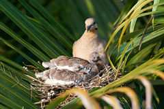 Dove with her chicks Stock Photo