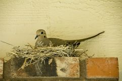 Dove in her nest. Female dove on her nest Royalty Free Stock Image