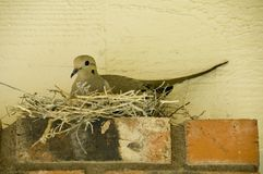 Dove in her nest. Female dove on her nest Royalty Free Stock Photo
