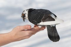 Dove on his hand Royalty Free Stock Photos