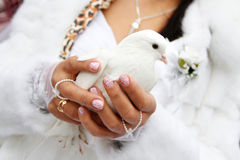 A dove in his hands. White dove in the hands of the bride royalty free stock photography