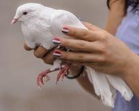 Dove in his hands Stock Photo