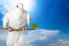 Dove Royalty Free Stock Image