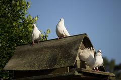 Dove House Royalty Free Stock Images
