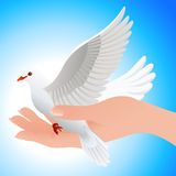 Dove in human hand Royalty Free Stock Photo